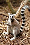 Ring-tailed Lemur 3478