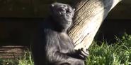 San Francisco Zoo Chimpanzee