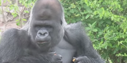 Sedgwick County Zoo Gorilla