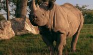 TSLoTZ Black Rhino