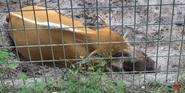 Tampa Lowry Park Zoo Pig