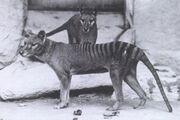 Two Thylacines.jpg