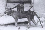 Two Thylacines