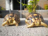 Two male Egyptian tortoises