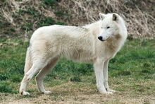 Wolf, Arctic.jpg