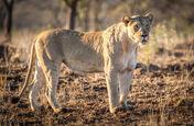 African Lioness (V2)