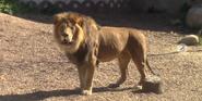 Columbus Zoo Lion