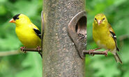 Male and Female Goldfinches