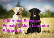Male and Female Labradors