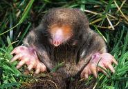 Mole, Eastern