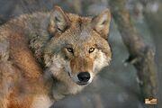 Mongolian Wolf.jpg