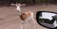 Natural Bridge Wildlife Ranch Gazelle