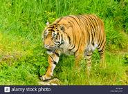Panthera Tigris Sondaica