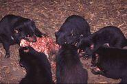 Tasmanian-devils-feast