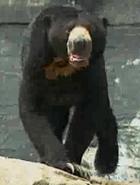 Akron Zoo Sun Bear