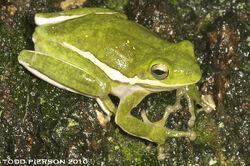 American Tree Frog.jpg