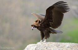 Eurasian Black Vulture Aegypius monachus.jpeg