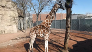 LPZ Giraffe