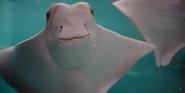 Newport Aquarium Stingrays