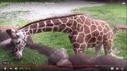 Saint Louis Zoo Giraffe