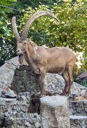 Siberian ibex (Capra sibirica)
