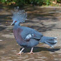 Victoria Crowned Pigeon.jpg