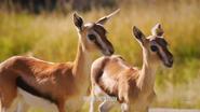 WWLZ&AQ Gazelles