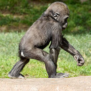 Western lowland gorilla infant