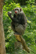 Chimpanzee LG
