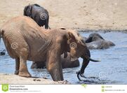 Elephants and Hippopotamuses At the Watering Hole