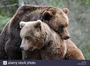 Eurasian Brown Bear Boar and Sow