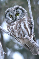 Owl, Boreal.jpg