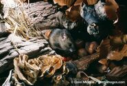 Wood-mouse-with-hoard-of-food