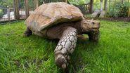 African spurred tortoise (Centrochelys sulcata)