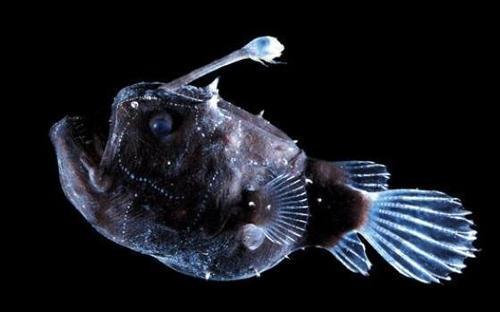 Atlantic Footballfish