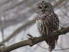 Barred owl granthickey1.jpg