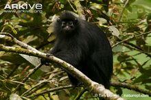 Bioko-black-colobus-monkey-in-rainforest.jpg