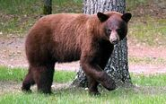 Black Bear, Cinnamon