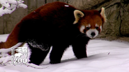 Cincinnati Zoo Red Panda