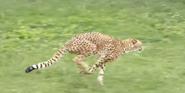 Columbus Zoo Cheetah