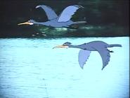 DatK Cormorants