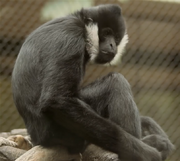 Kansas City Zoo Gibbon.png