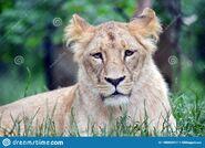 Katanga Lioness