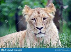 Katanga Lioness.jpg