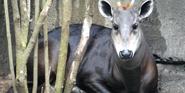 Memphis Zoo Duiker