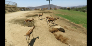 San Diego Zoo Safari Park Gazelles