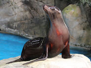 Sea Lion, California