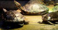 Turtle 1 oregon zoo