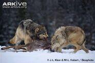Wolf, grey