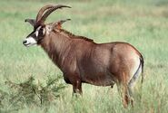 1-roan-antelope-moswe590a